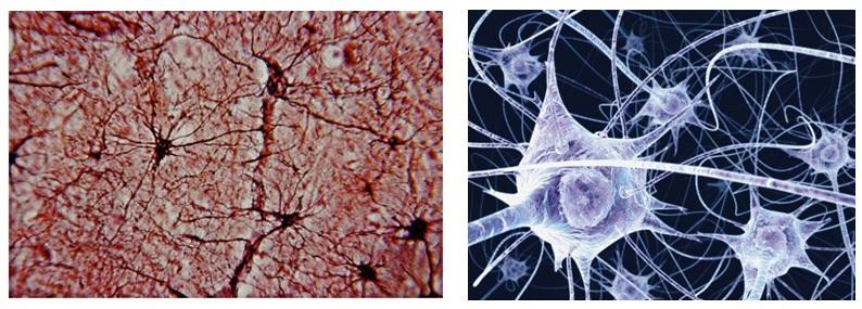 http://blog.ac-versailles.fr/biobenhamza/public/BPH_1ere/Tissu_nerveux.jpg