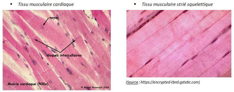 http://blog.ac-versailles.fr/biobenhamza/public/BPH_1ere/Tissus_musculaires_cardiaque_et_squelettique.jpg