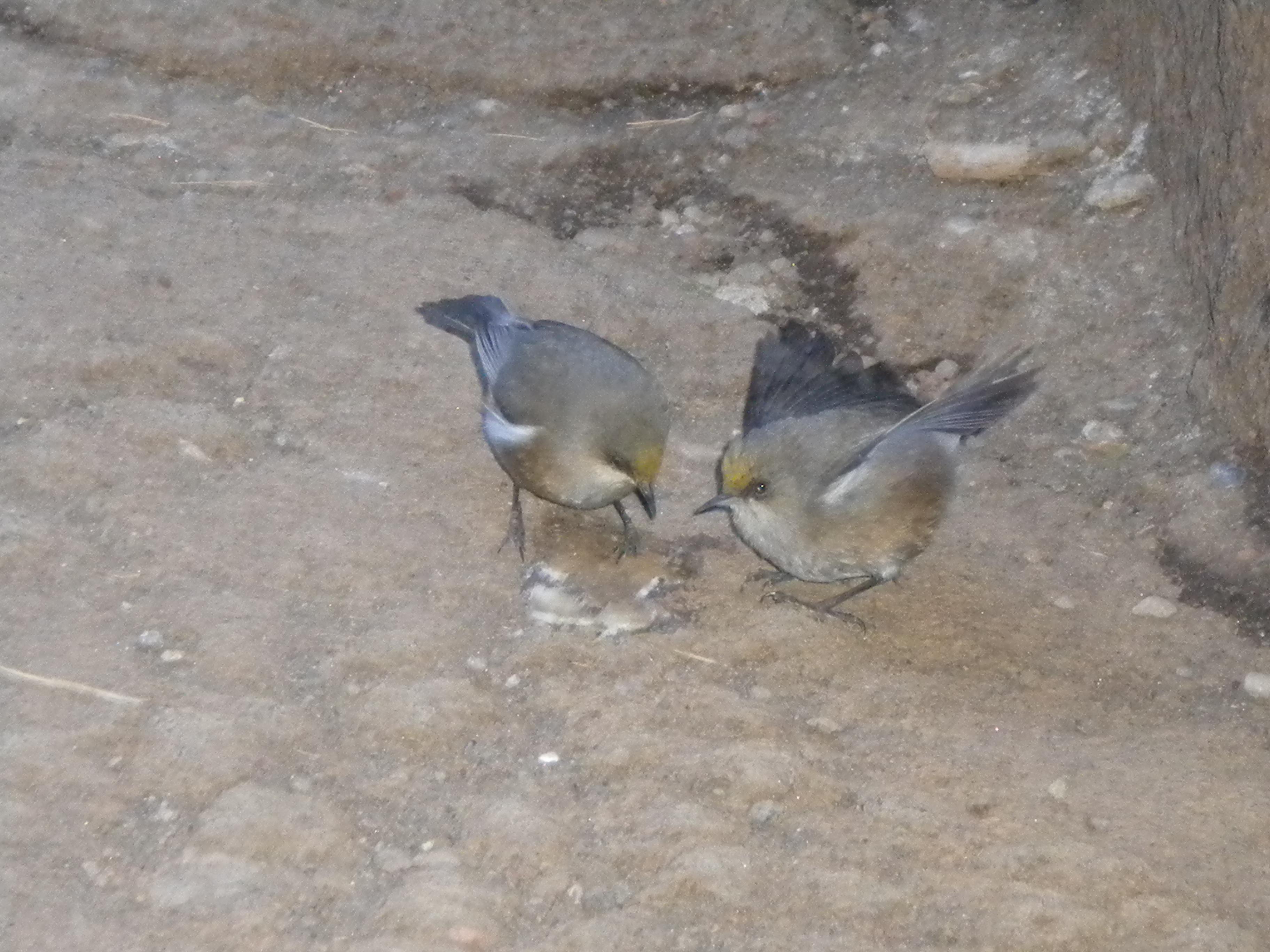 Oiseau blanc ou zoizeau lunettes gris zosterops for Oiseau gris et blanc