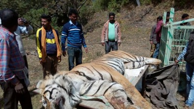 tiger-killed-by-excavator-Corbett-tiger-reserve.jpg